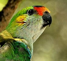 Purple Crowned Lorikeet II by Tom Newman