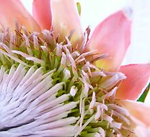 The King of the Protea's by elsha