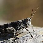 Grasshopper ( Oedipoda caerulescens ) by Willem Hoekstra