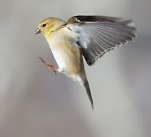 Finch on the Move by noffi