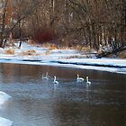 Trumpeter Swans on the Apple River by A. Kakuk