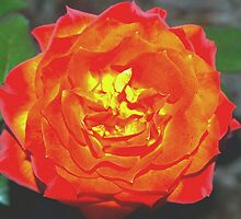 Rose with a fire within by ?? B. Randi Bailey