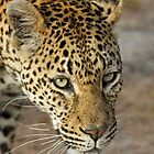 Leopard adjacent to our vehicle by jozi1
