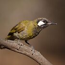 At the Waterhole ... White-eared Honeyeater by Kerryn Ryan, Mosaic Avenues