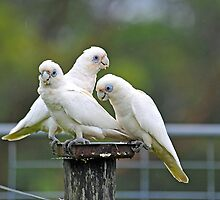 Short Billed Corellas In Our Back Paddock. Brisbane, Queensland, Australia  by Ralph de Zilva