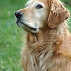 Golden Retriever Dog by grrizzly