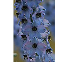 Delphinium . Norway . by Brown Sugar. Views - 297. Photographic Print