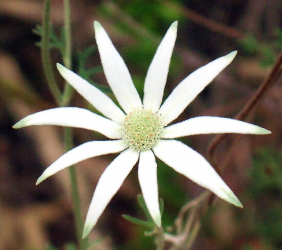 Flannel Flower, Actinotus helianthi by Michael John