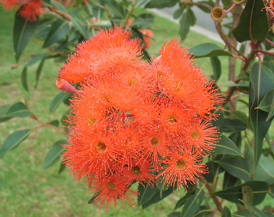 Orange Gum Blossoms by Michael John