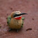 White-fronted Bee-eater by naturalnomad