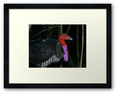 Australian Brush Turkey by naturalnomad