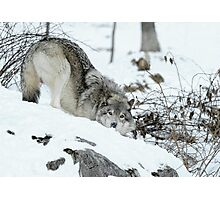 Crouching Timber Wolf Photographic Print