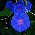 Ipomoea Indica by sedge808