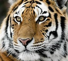 Siberian Tiger by Alain Turgeon