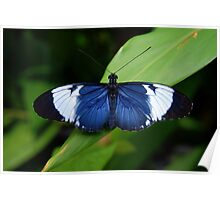 Heliconius Butterfly (Heliconius cydno galanthus) - Costa Rica Poster