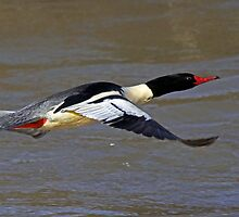 COMMON MERGANSER  Mergus merganser  drake by Chuck Gardner