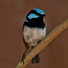 Superb Fairywren III by Tom Newman