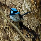 'All Smart in Blue' - Supurb Fairy Wren  by Eyes-of-Sol