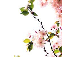 Cherry Blossom Screen by triplelll