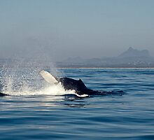 Humpback Whale (Megaptera novaeangliae) & Mt Warning by Odille Esmonde-Morgan