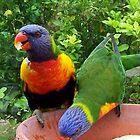 Rainbow Lorakeet Parrots, NSW. Australia by Angela Gannicott