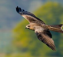 Black Pariah Kite by santanu