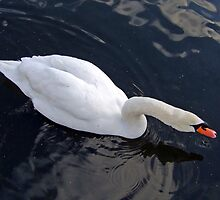 Swan diagonal by Matthias Keysermann
