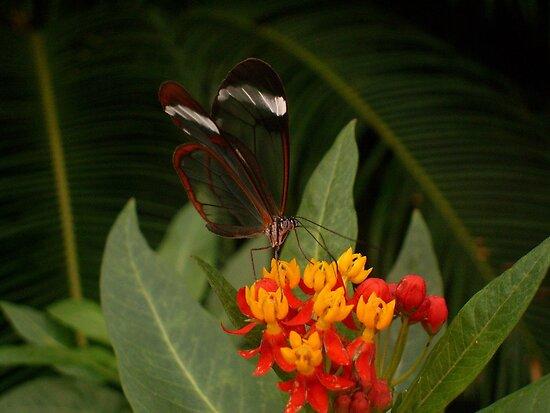 Glasswing Butterfly by Michaela1991