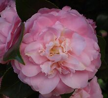 Pink Camellias by Tony Alexander