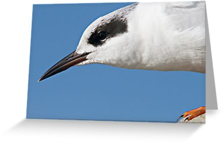 Forster's Tern Close Up by Michael  Moss
