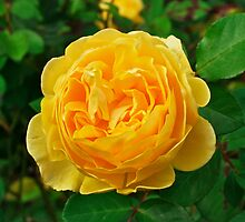 Graham Thomas, David Austin English Rose. by johnrf