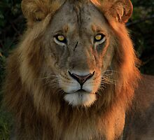 Resting Lion by Inksphoto
