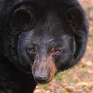 Florida Black Bear by naturalnomad