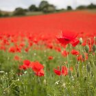 Poppy Field in the Spring by TiarasTeddies