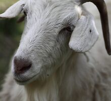 A Goat Portrait by yolanda