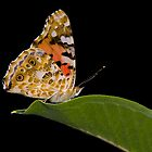 Butterfly on green leaf by teva-art
