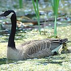 Canada Goose and Gosling by grrizzly