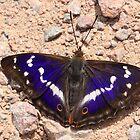 Male Purple Emperor butterfly, Fermyn Wood by Michael Field