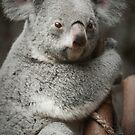 """""""Big Ears"""" - koala bear by John Hartung"""