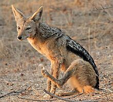 Patient  black backed jackal  by jozi1