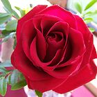 single red rose by vernonite