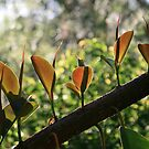 Rubber Plant Leaves Standing In A Row by aussiebushstick
