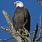 Bald Eagle Early Morning Visual  by Chuck Gardner