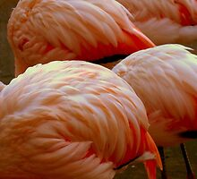 Swan Song.........? Just Pink Flamingoes by ctheworld