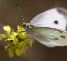 White Butterfly by yolanda