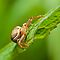 Crab spider on green leaf by teva-art