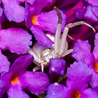 Female crab spider on violet flower by teva-art
