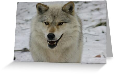 Happy and Alert Wolf by Tracy Faught