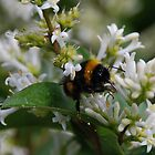 Bumble Bee on Small White Flowers by SophieSimone