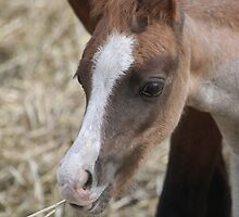 Welsh Mountain Foal by PonyPix